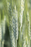 Unripe wheat ears, green field Royalty Free Stock Image
