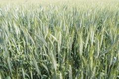 Unripe wheat ears, green field Stock Photography
