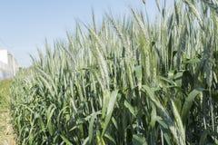 Unripe wheat ears, green field Royalty Free Stock Photo
