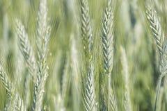Unripe wheat ears, green field Stock Photo