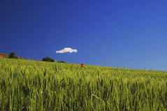 Unripe wheat field Stock Images