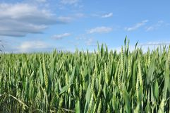Unripe wheat Royalty Free Stock Photography