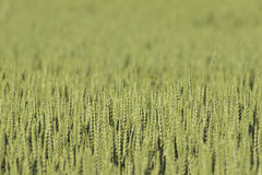 Unripe wheat Royalty Free Stock Images