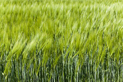 Unripe wheat germ Royalty Free Stock Image
