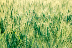 Unripe wheat Stock Image