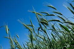 Unripe wheat heads Royalty Free Stock Photo