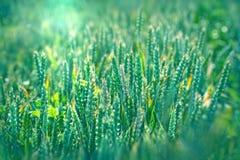 Unripe wheat - immature wheat (grain) Royalty Free Stock Photography