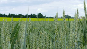 Unripe wheat sways in the wind stock video