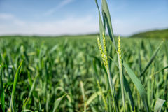 Unripe wheat Royalty Free Stock Photo