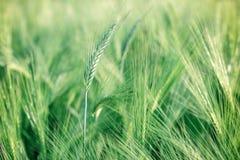 Unripe wheat (wheat field) Royalty Free Stock Photos