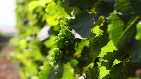 Unripe wine grapes growing in a vineyard stock footage