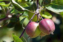 Unriped apples Royalty Free Stock Images