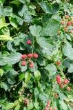 Unriped blackberryy fotografia de stock royalty free