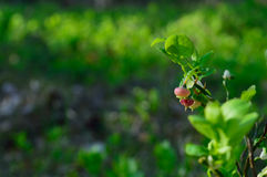 Unriped blueberry. Ripening blueberry at dawn in Bory Tucholskie, Tle Royalty Free Stock Photo