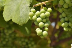 Unriped green grapes Royalty Free Stock Images