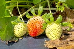 Unriped Strawberries On A Crops Row royalty free stock photos