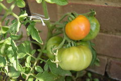 Unriped tomatoes orange and green on the tomato plant Royalty Free Stock Photography