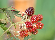 Unripened Blackberries Stock Image