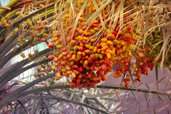 Unripened dates on a date palm Royalty Free Stock Image