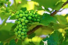 Unripened green grape Stock Image