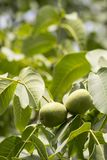 Unripened walnuts with green leaves on a branch. stock photo