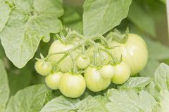 Unripened Tomatoes Stock Images