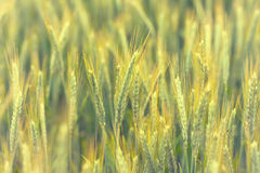 Unripened wheat background Stock Image