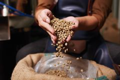 Unroasted coffee beans. Close-up image of man taking unroasted coffee beans Royalty Free Stock Photos