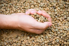 Unroasted coffee beans on hand Stock Image