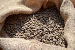 Unroasted dry green coffee beans in a burlap sack under the direct sunlight. Unroasted dry green coffee beans in a burlap sack of rough canvas under the direct stock image
