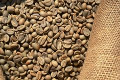 Unroasted dry green coffee beans in a burlap sack under the direct sunlight. Unroasted dry green coffee beans in a burlap sack of rough canvas under the direct royalty free stock photography