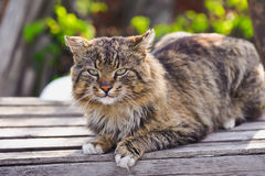Unruffled cat sitting and stern looking. Royalty Free Stock Photos