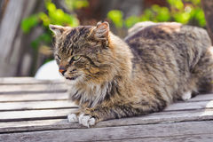 Unruffled cat sitting and stern looking Royalty Free Stock Image