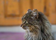 Unruffled wild cat Stock Image