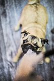 Unruly funny pug puppy dog. Young puppy pug is unruly to you, playing with you Royalty Free Stock Photo