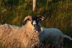 Uns carneiros e um cordeiro Foto de Stock Royalty Free
