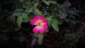 Uns dois bonitos tonificam a flor cor-de-rosa e branca imagem de stock