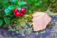 Uns folha e ramo da airela Fotos de Stock