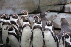 Uns grupos de pinguins africanos em rochas foto de stock royalty free