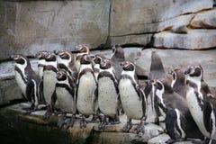 Uns grupos de pinguins africanos em rochas fotos de stock royalty free