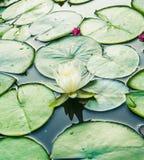 Uns lótus brancos e almofadas de lírio em uma lagoa Fotografia de Stock Royalty Free