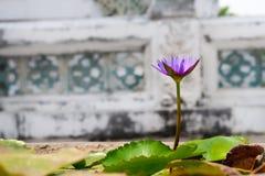 Uns lótus roxos de florescência Imagens de Stock