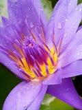 Uns lótus roxos em uma lagoa fotografia de stock royalty free