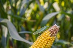 Uns locustídeo verdes ou um gafanhoto comem o milho, sentando-se na orelha foto de stock royalty free