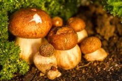 Uns muitos de cogumelos brancos bonitos do porcini com chapéus marrons crescem fotografia de stock royalty free