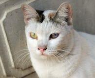 Uns olhos de gato mais velhos começam a deteriorar-se fotografia de stock royalty free