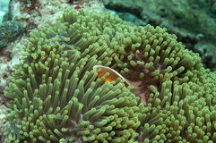 Uns outros peixes de anemone Fotos de Stock