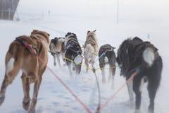 Uns seis cães bonito chovem canivetes puxar um trenó Imagem tomada do assento na perspectiva do trenó Divertimento, esporte de in imagem de stock