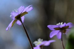 Unschärfe-Blau-Anemone Lizenzfreies Stockfoto
