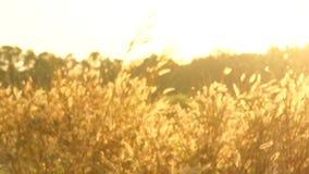 Unschärfe der Pennisetum pedicellarum Unkraut-Betriebsblume im Wind stock video footage